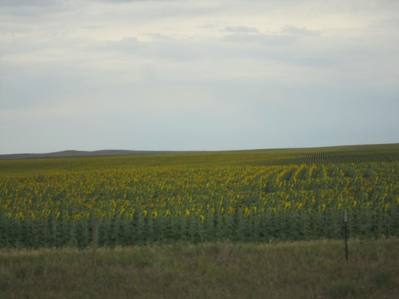 Sunflowers in the middle of corn