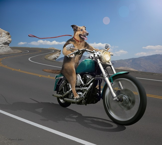 Dog Driving Motorcycle...